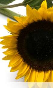 Sunflower wallpaper for HUAWEI Ascend G330