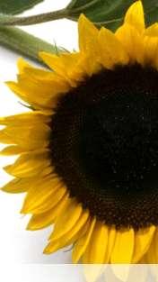 Sunflower wallpaper for Celkon A62