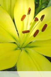 Flower wallpaper for Vodafone Smart Mini