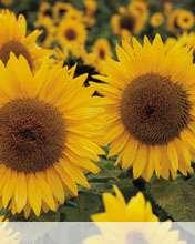 Sunflower wallpaper for Videocon V1414