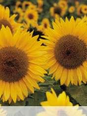 Sunflower wallpaper for Samsung Galaxy Pocket Neo