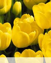 Tulips wallpaper for Videocon V1414
