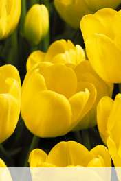 Tulips wallpaper for Lava Iris 349