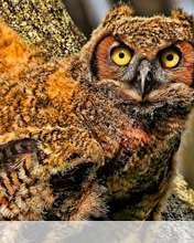 Baby owl wallpaper for Videocon V1414