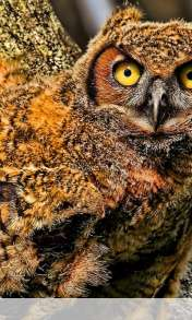 Baby owl wallpaper for HUAWEI Ascend G330