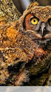 Baby owl wallpaper for Sony XPERIA VL