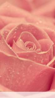 Rose heart wallpaper for Sony-Ericsson XPERIA NX