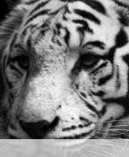 White%20tiger wallpaper for