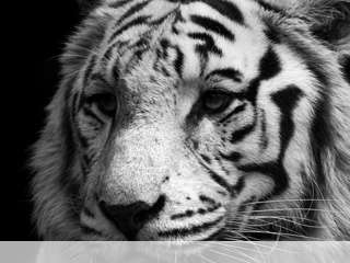 White tiger mobile wallpaper for