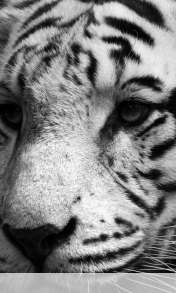 White tiger wallpaper for Prestigio MultiPhone 4055 Duo