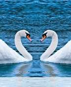 Swans%20form%20heart wallpaper for