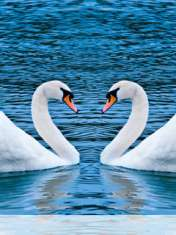 Swans form heart wallpaper for Samsung Galaxy Chat