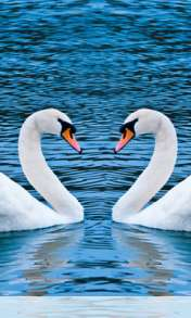 Swans form heart wallpaper for au INFOBAR C01