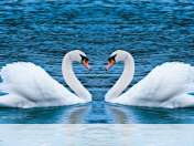 Swans form heart wallpaper for Nokia Asha 210