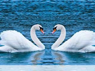 Swans form heart mobile wallpaper for