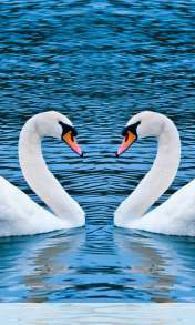 Swans form heart wallpaper for Prestigio MultiPhone 4055 Duo