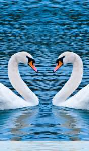Swans form heart wallpaper for Samsung Galaxy Tab 3 Kids