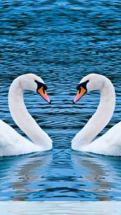 Swans form heart wallpaper for Apple iPhone 5C