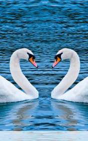 Swans form heart wallpaper for Samsung Galaxy Tab4 8.0