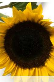 Sunflower wallpaper for HUAWEI Ascend Y