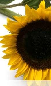 Sunflower wallpaper for Alcatel OT 997