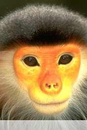 Monkey wallpaper for HUAWEI Ascend Y