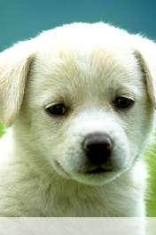 Dog wallpaper for HUAWEI Ascend Y