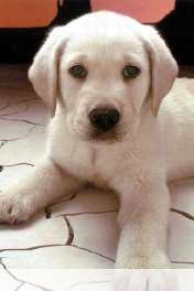 Dog on the floor wallpaper for HUAWEI Ascend Y