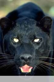 Panther wallpaper for HUAWEI Ascend Y