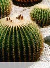 Cactus wallpaper for Icemobile Sol II