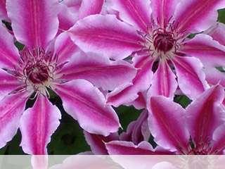 Flower mobile wallpaper for