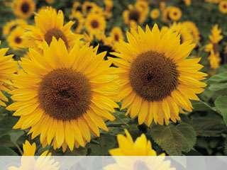 Sunflower mobile wallpaper for