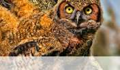 Baby owl wallpaper for Alcatel One Touch Pop 7