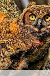 Baby owl wallpaper for HUAWEI Ascend Y