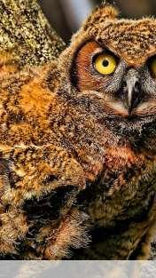 Baby owl wallpaper for FairPhone FP1U