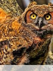 Baby owl wallpaper for LG Optimus Vu Global