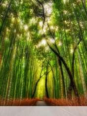 Bamboo forest wallpaper for Zen-Mobile P8