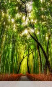 Bamboo forest wallpaper for HTC Desire 500