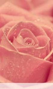 Rose heart wallpaper for Videocon V1580