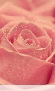 Rose heart wallpaper for Alcatel OT 997