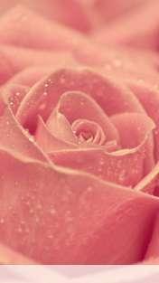 Rose heart wallpaper for Mobiistar touch KEM 452ips