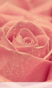 Rose heart wallpaper for Acer ICONIA TAB A110