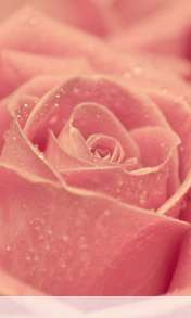 Rose heart wallpaper for LG Optimus G