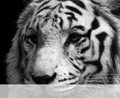 White tiger wallpaper for Yezz Bono 3G