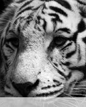 White tiger wallpaper for Yezz Classic C30