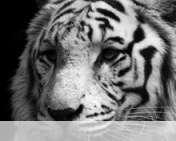 White tiger wallpaper for Verykool i650