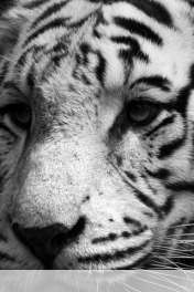 White tiger wallpaper for Qmobile E850