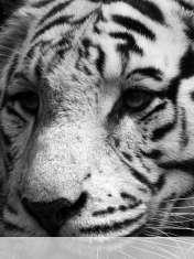 White tiger wallpaper for Pantech Pocket