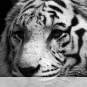 White tiger wallpaper for BlackBerry Classic