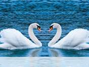 Swans form heart wallpaper for Insignia Flash